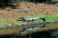 Alligator Sunbath